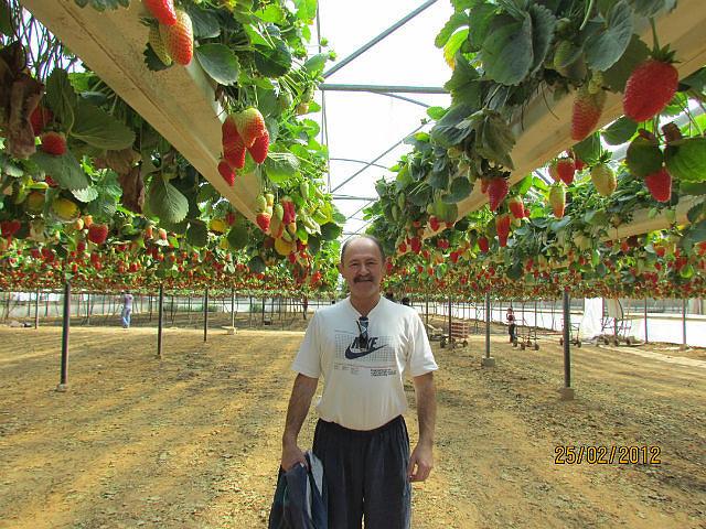 Израильские технологии выращивания клубники 93